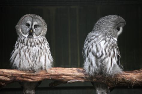 owl_turning_away